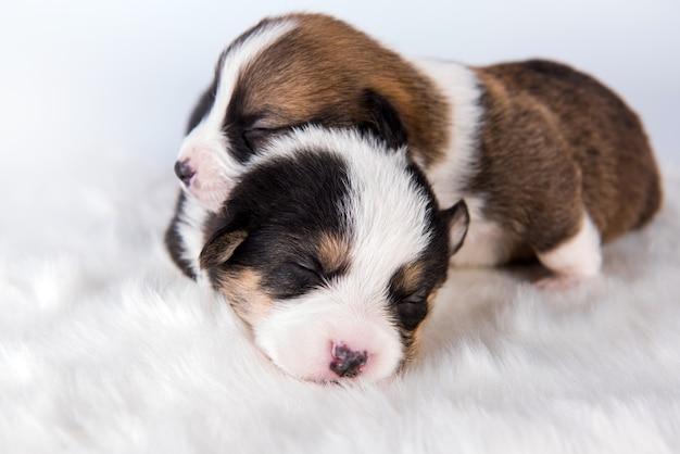 Dwa pembroke welsh corgi pembroke szczenięta psy na białym tle na biały krajobraz