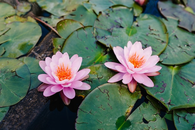 Dwa piękne kwitnące różowy lotos unoszący się w wodzie, roślin lilii w stawie
