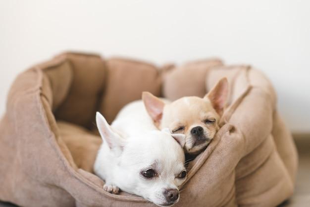 Dwa piękne, słodkie i piękne domowe szczenięta rasy chihuahua przyjaciele leżące, relaksując się w łóżku psa. zwierzęta odpoczywają, śpią razem. żałosny i emocjonalny portret. zdjęcie ojca i córki.