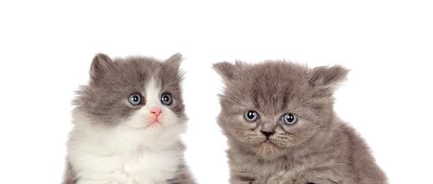 Dwa piękne szare kociaki na białym tle