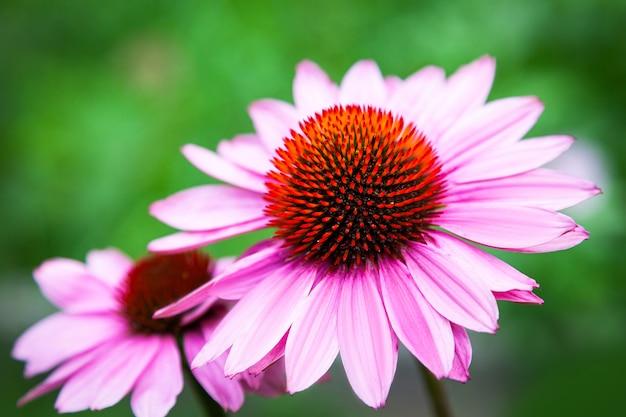 Dwa piękny duży kwiat echinacea