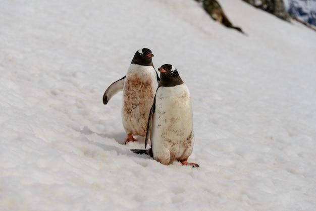 Dwa pingwiny gentoo na śniegu