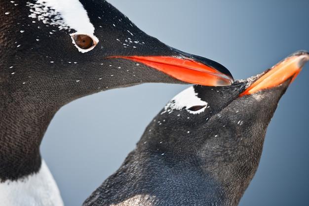 Dwa pingwiny na antarktydzie