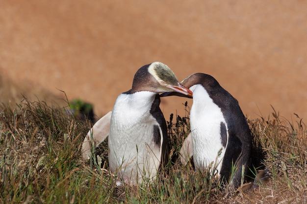 Dwa pingwiny o żółtych oczach, dotykające się nawzajem
