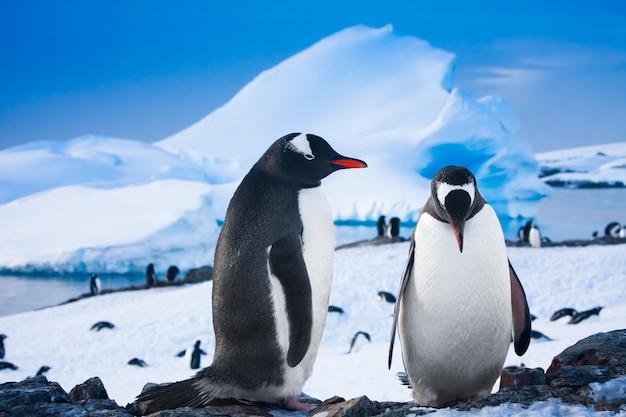 Dwa pingwiny