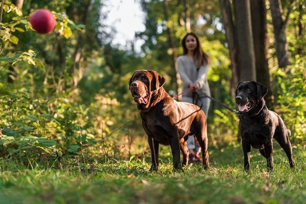 Dwa psa patrzeje czerwoną piłkę w lotniczej pozyci z zwierzę domowe właścicielem