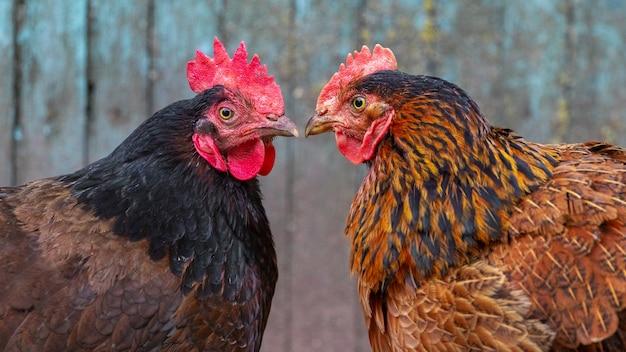 Dwa pstrokate kurczęta dzioby do siebie z bliska, portrety kurczaków z profilu