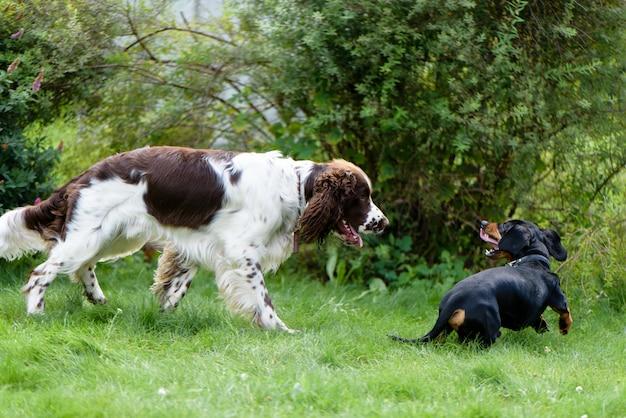 Dwa psy bawić się szorstkiego w trawie