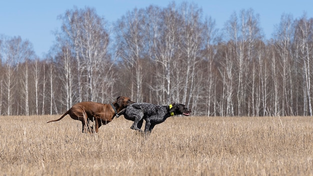 Dwa psy biegną do destylacji w terenie