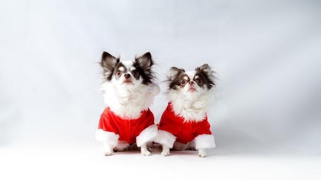 Dwa psy chihuahua ubrane w czerwone kostiumy świąteczne santa shirt