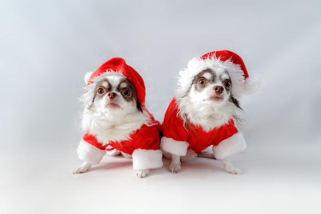 Dwa psy chihuahua ubrane w czerwone stroje świąteczne santa