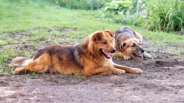 Dwa psy leżące w ogrodzie na trawie