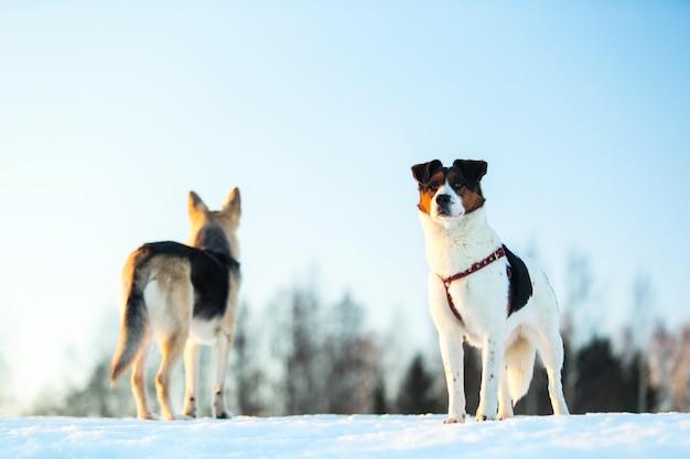 Dwa psy na spacerze po śniegu w zimowym polu