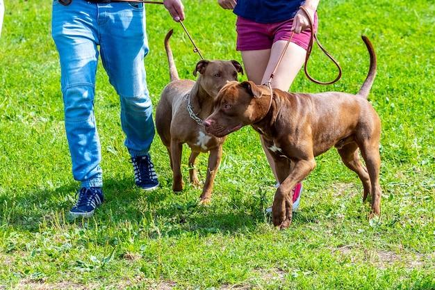 Dwa psy rasy american pit bull terrier z właścicielami podczas spaceru