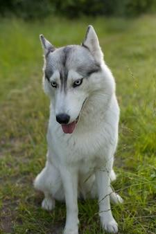 Dwa psy siberian husky rozglądają się