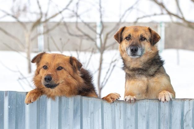 Dwa psy stróżujące zimą wychodzą na ogrodzenie, stojąc na tylnych łapach. ciekawe śmieszne zwierzęta