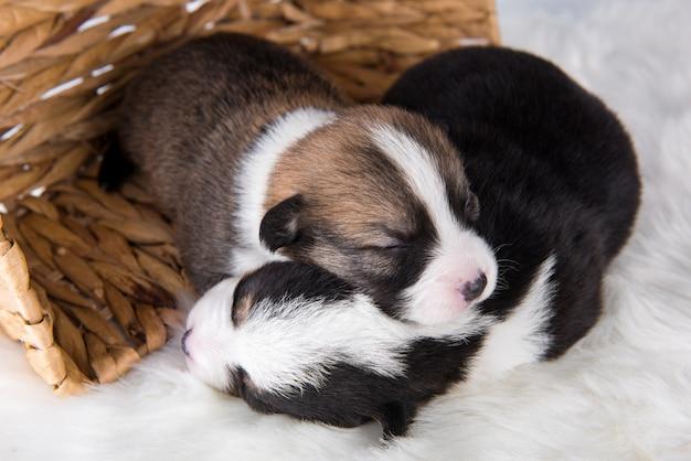 Dwa psy szczenięta pembroke welsh corgi na kosz na białym tle na białą scenerię