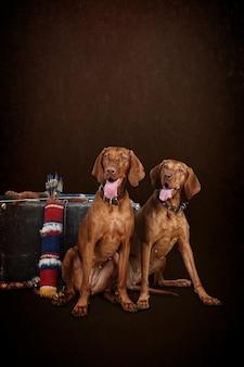 Dwa psy węgierski wyżeł węgierski krótkowłosy, na brązowym tle. karta, pocztówka