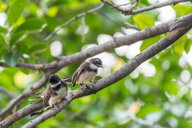 Dwa ptaki (malezyjski pied fantail, rhipidura javanica) czarno-biały kolor to para
