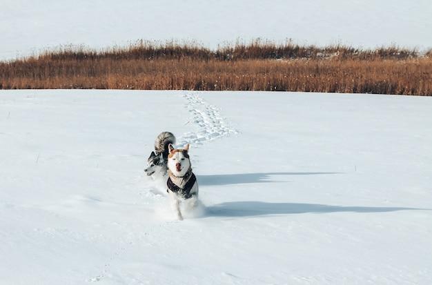 Dwa rasowe husky biegające po śniegu