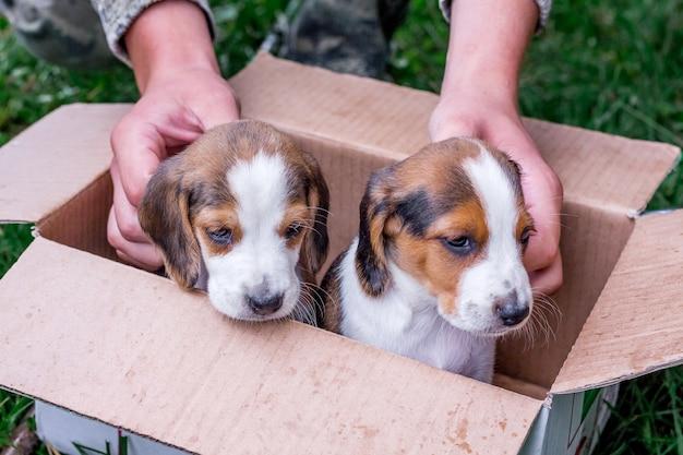 Dwa rasowe szczenięta i estoński pies w tekturowym pudełku. chłopiec pieści małe szczenięta