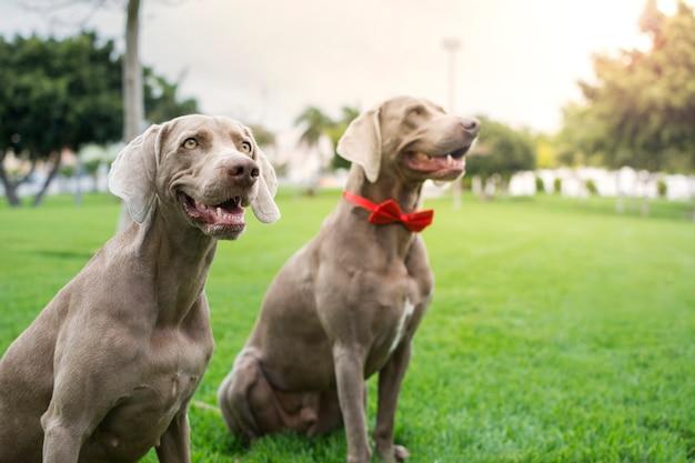 Dwa równe rasowe psy wyżeł weimarski w parku, oświetlone światłem słonecznym o zachodzie słońca.