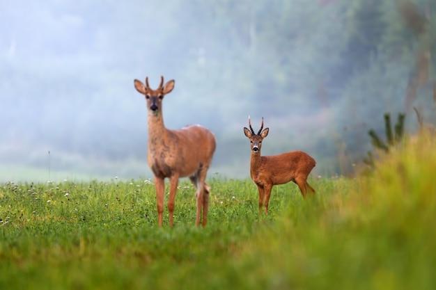 Dwa różne gatunki jeleni na zielonym polu w lecie natury.