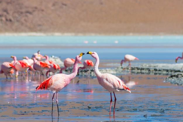 """Dwa różowe flamingi w """"laguna colorada"""" w boliwijskich andach"""