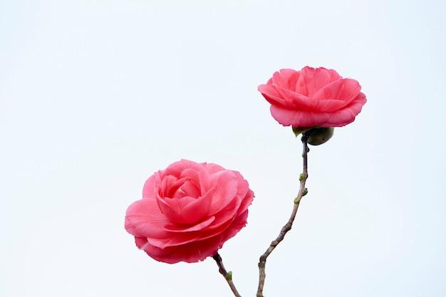Dwa różowe kwiaty kamelii. odosobniony. białe tło