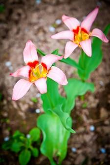 Dwa różowe tulipany starburst