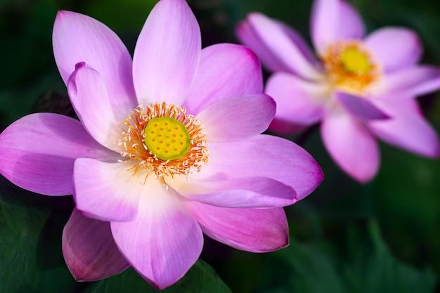 Dwa różowy lotos przy słonecznego dnia zakończeniem
