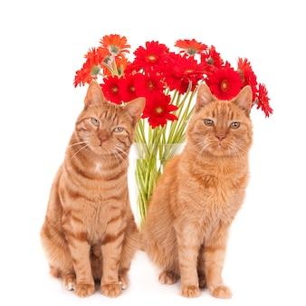 Dwa rude koty pochylone na boki. siedząc przed czerwonymi afrykańskimi stokrotkami. biały.