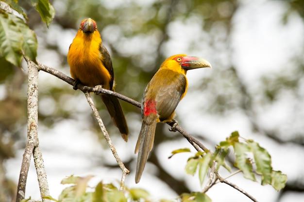 Dwa saffron toucanets w gałęzi drzewa - tukany