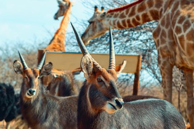 Dwa samce waterbuck z bliska w wysokiej trawie. park narodowy etosha, namibia. dzikie zwierzęta afrykańskie.