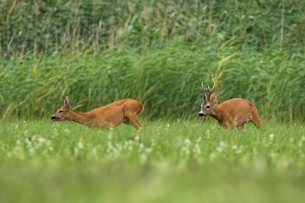 Dwa sarny na polu