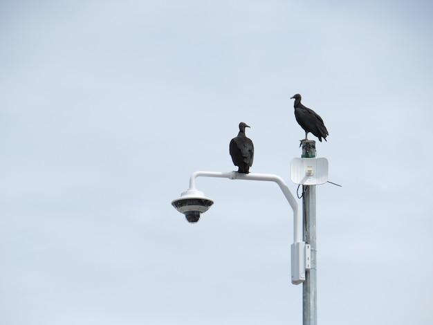 Dwa sępy siedzą na słupku kamery bezpieczeństwa