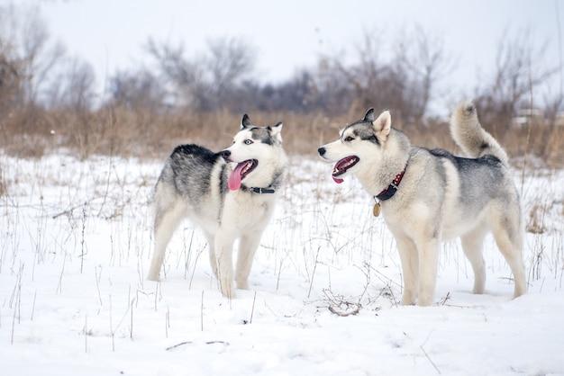 Dwa siberian husky stojący w śniegu na łące