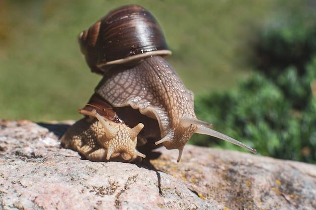 Dwa ślimaki. jeden ślimak wpełzł na muszlę drugiego. możesz pomyśleć, że to transport lub pomoc.