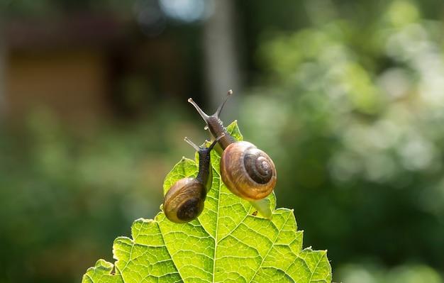 Dwa ślimaki ogrodowe na liść porzeczki patrząc w dal, bokeh w tle