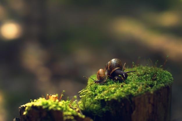 Dwa ślimaki zawróciły w różnych kierunkach wczesnym rankiem na pengky z mchem w lesie.