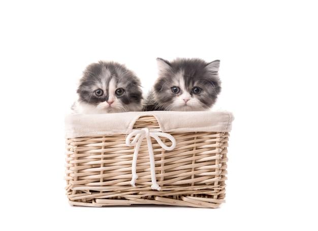 Dwa słodkie kocięta rasy szkockiej w koszu na białym tle