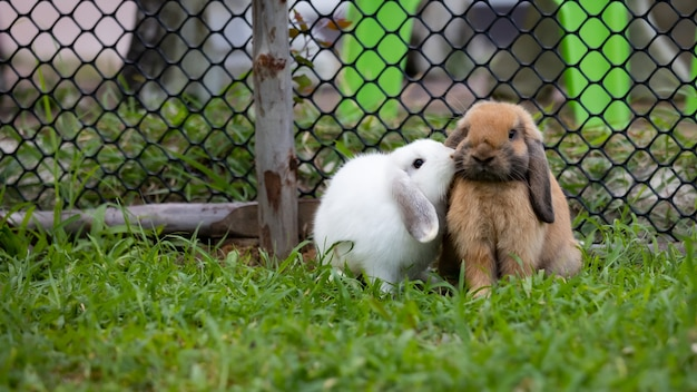 Dwa słodkie króliki kochające i bawiące się na łące zielonej trawie razem. przyjaźń z króliczkiem wielkanocnym. szczęśliwy królik.