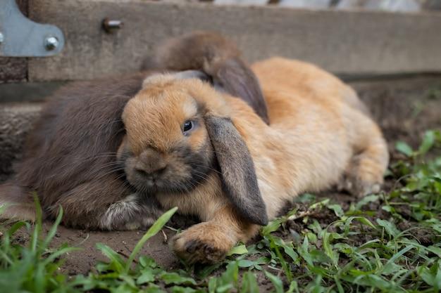 Dwa słodkie króliki leżące i śpiące razem na łące z miłością. przyjaźń z króliczkiem wielkanocnym. szczęśliwy królik.