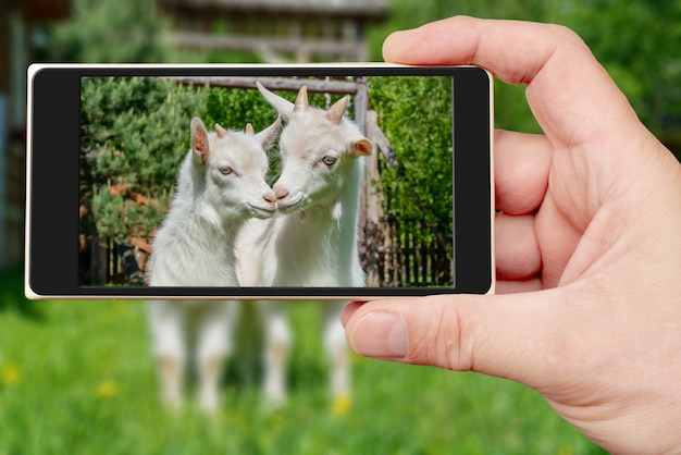 Dwa słodkie małe białe kozy na ekranie smartfona. letni zwierzak na farmie.