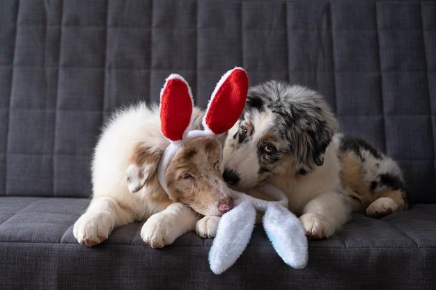 Dwa słodkie małe słodkie owczarek australijski szczeniak czerwony niebieski merle sobie uszy królika. święta wielkanocne. leżąc na szarej sofie. najlepsi przyjaciele.
