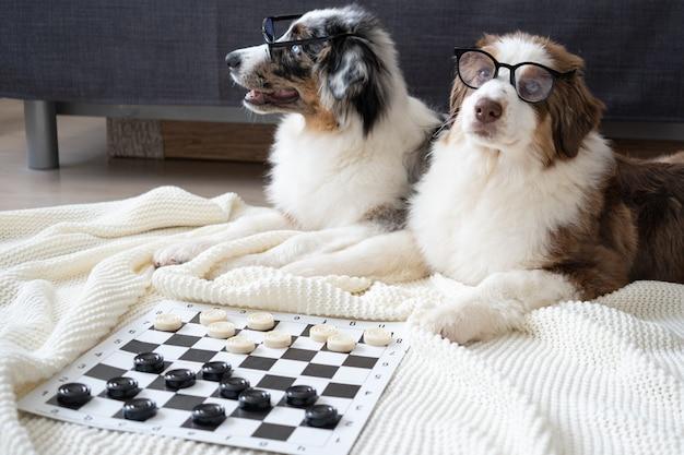 Dwa słodkie owczarek australijski czerwony trzy kolory niebieski merle trzy kolory szczeniak w okularach grać w warcaby. koncepcja edukacji.