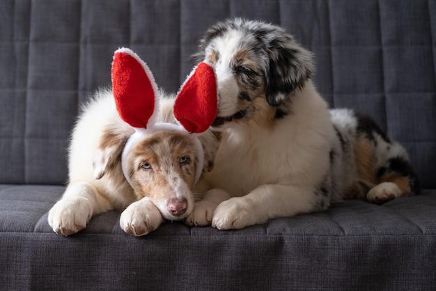 Dwa słodkie owczarki australijskie merle szczeniak sobie uszy królika. święta wielkanocne. na kanapie.