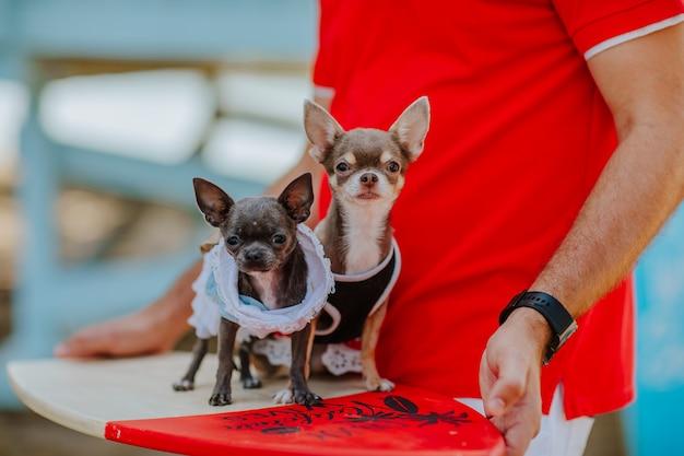 Dwa słodkie psy chihuahua stojące przy desce surfingowej pod ręką mężczyzny