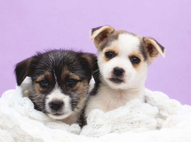 Dwa słodkie szczeniak na fioletowym tle