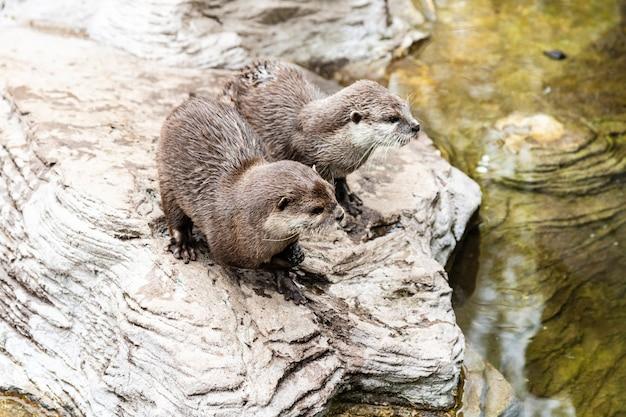 Dwa słodkie wydry rzeczne w zoo
